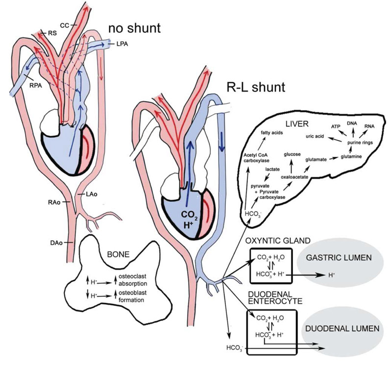 Cardiac shunt reptile cardiac shunt ccuart Images