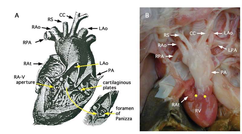 Anatomy of the heart ventral view
