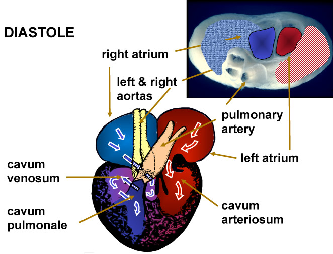 Turtle heart anatomy