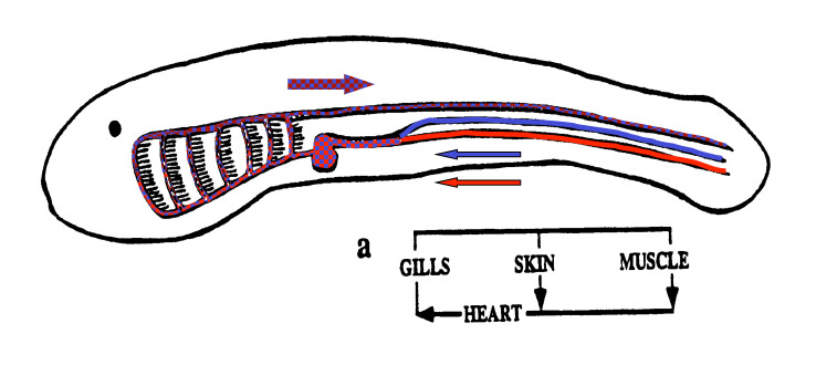 Evolution of fish lungs schematic of circulatory system of larval lamprey and hagfish a model of the protovertebrate ccuart Images