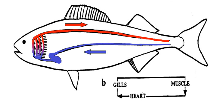 Evolution of fish lungs schematic of the circulatory system of a gill breathing fish sciox Choice Image